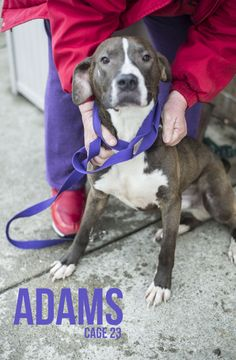 ADAMS...FOUND IN CANTON, OHIO...Picked up as a stray on 2/21.  Available on 2/25.   $ 86.00 fee includes license, 4 way shot, Bordetella vaccine, flea treatment if necessary.  Some dogs are also wormed, Heartworm tested.  $50.00 goes to the cost of spay/neuter and rabies. We take...
