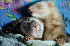 Ferret-tales~ by Panda-kiddie