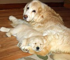A golden retriever named Bailey, age 16,  with her great-great-granddaughter.