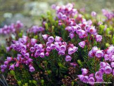 Pacific Northwest Wildflowers - Pink Mountain Heather