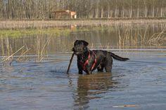Ziggy - 11 months black Labrador - Padule Fucecchio