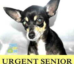 TALITA (A1050709) I am a spayed female black and tan Chihuahua - Smooth Coated. The shelter staff think I am about 9 years old and I weigh 7 pounds. I was turned in by my owner and I am available for adoption. — hier: Miami Dade County Animal Services https://www.facebook.com/urgentdogsofmiami/photos/pb.191859757515102.-2207520000.1438291782./1019841481383588/?type=3&theater