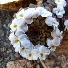 Viola sacculus Planta suculenta muito rara e sobretudo belíssima. Originária das montanhas alpinas da Patagônia.