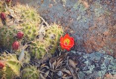Items similar to Red Cactus Rose Flower Nature Photography Blooms Wildflowers Botanical Fine Art Photo Print Summer Decor Texas Landscape Rocks Flowers on Etsy Rock Flowers, Wild Flowers, Texas Photography, Nature Photography, Red Cactus, Fine Art Photo, Landscaping With Rocks, Handmade Gifts, Bloom