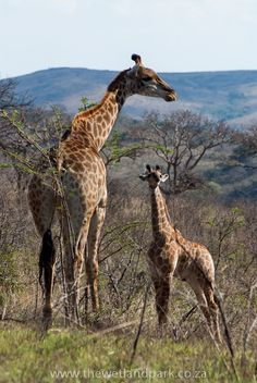 """When I grow up...""    A new addition to the Giraffe family at Hluhluwe-Imfolozi Game Reserve"