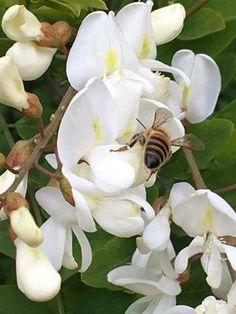 Maggio, mese di raccolto: i profumi e i colori raccontano il fiorire della vita. Fioriscono il tamerice, il pitosporo, il cisto, il tarassaco, la lupinella, il timo, la facelia, ma protagonista assoluta è l'acacia! Condividiamo le immagini del nostro socio Giustino Tano , in piena attività per raccogliere questo miele chiaro e delicato, particolarmente pregiato.