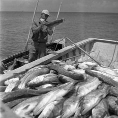 A Seine net fisherman loading snook into the boat in Naples (1949). | Florida Memory
