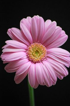 Pink Gerbera - so cute Gerbera Flower, Pink Gerbera, Flower Art, Gerbera Daisies, Flower Bouquets, Bridal Bouquets, Amazing Flowers, Pink Flowers, Beautiful Flowers