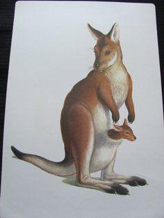 Large Illustrated School Flash Card Poster - Alphabet Letter - K Kangaroo