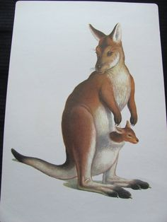 Large Illustrated School Flash Card Poster - Alphabet Letter - K Kangaroo