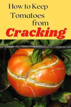 If your tomatoes keep splitting , try these tips to prevent it! Growing Tomatoes, Down South, Gardening Tips, Vegetables, Paradise, Yard, Gardens, Patio, Veggie Food