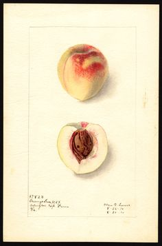 """Artist: Lower, Elsie E., b. 1882  Scientific name: Prunus persica  Common name: peaches  Variety: Orange Free   """"U.S. Department of Agriculture Pomological Watercolor Collection. Rare and Special Collections, National Agricultural Library, Beltsville, MD 20705"""""""
