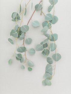 Eucalyptus, silver dollar, encouragement