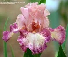 TB Iris germanica 'Musician' (Keppel, 2004) ........................... Height…