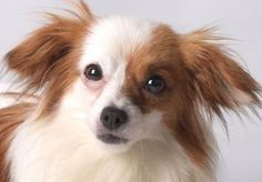 """#petadoption Meet Ariel, a 3 years 1 month Papillon """"I am a very shy girl but I am learning to trust and I am slowly getting better. In my new home I ask that there is a more confident dog that will show me the ropes."""""""