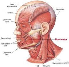 skull muscles - Google Search
