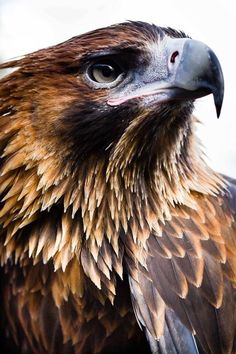 Wedge-tailed Eagle ♡