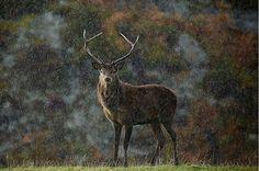 Délicate photo de cerf sous la bruine, de Christophe Salin  __________________________________________ Gentle picture of a deer under the drizzle, by Christophe Salin