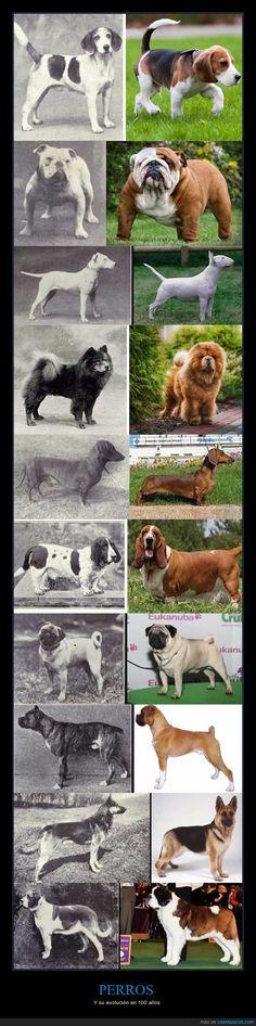 Así han cambiado estas razas de perro en 100 años por culpa del hombre - Y su evolución en 100 años   Gracias a http://www.cuantarazon.com/   Si quieres leer la noticia completa visita: http://www.skylight-imagen.com/asi-han-cambiado-estas-razas-de-perro-en-100-an%cc%83os-por-culpa-del-hombre-y-su-evolucion-en-100-anos/