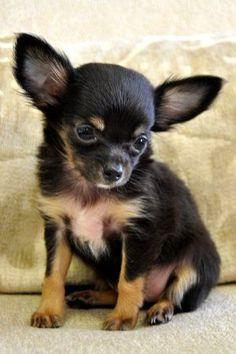 Chihuahua - so cute.
