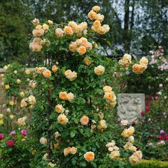 English Roses 'Crown Princess Margareta' climbing rose from David Austin Roses, shown growing on a rose pillar/obelisk. She will be going in my new rose garden in the center obelisk of bed Perennial Garden Design, Growing Roses, Beautiful Roses, Garden Design, Rose Care, Climbing Roses, David Austin Roses, Rose Garden Design, Perennial Garden