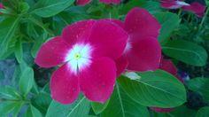 แพงพวย (Catharanthus roseus (L.) G.Don)