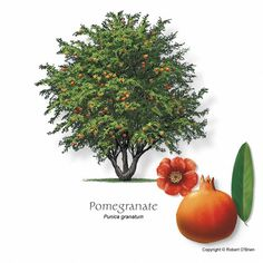 Pomagranate Punica granatum In the Northern Hemisphere, the fruit is typically in season from September to February.