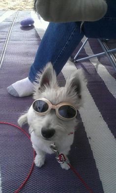Weslee with her doggles on before a rhino ride at the dunes. #westie