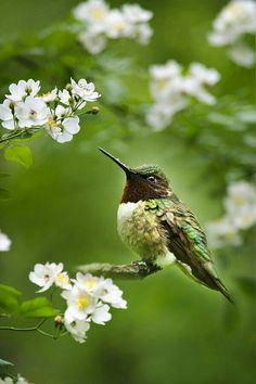 Green Feathered Hummingbird
