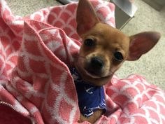 Hi, my name is Púa. I am a 3 month old puppy applehead chihuahua. I love warm blankets.