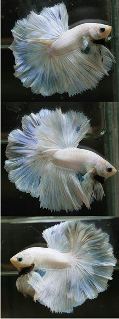 808 White blue OHM rosetail male