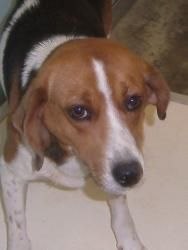 Jesse is an adoptable Treeing Walker Coonhound Dog in Charles City, VA. My name is Jesse and I am your dream dog!I love you already and want to go home with you. Do you love to take walks or chill ...