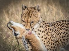The Beauty of the Kill Photo by Joyce G. Pernin — National Geographic Your Shot