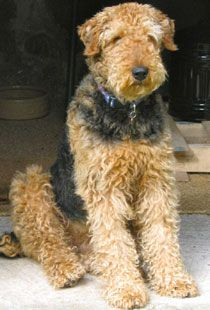 #AiredaleTerrier the dog breed. http://www.petclubindia.com/dog-breeds-airedale-terrier/