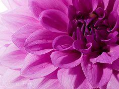 Kunstdruck-Blumenbild oder Leinwandbild Herbstblume blaue Dahlie
