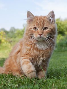 Our sweet baby Sunny (4 months old). He's a German Longhair cat.