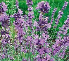 Lavandula angustifolia Buena Vista