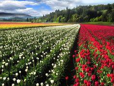 All Newest - pixdaus Yahoo Images, Tulips, Sculpting, Vineyard, Architecture, Pretty, Gardening, Outdoor, Arquitetura