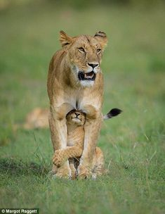 The mother has the young cub where she wants it...