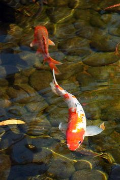 Koi...the peaceful samurai fish....