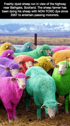 Freshly dyed sheep run in view of the highway near Bathgate, Scotland.  Gives a whole new meaning to Rainbows and their Pots O'Gold