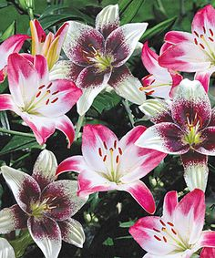 Lily Lover's Blend Bulb - Set of Five by Spring Hill Nursery #zulily #zulilyfinds