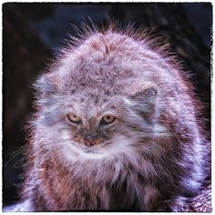 as a matter of fact,YOU ARE GETTING ON MY LAST NERVE !!!,Pallas Cat,Columbus Zoo,photo by Thomas Alexander