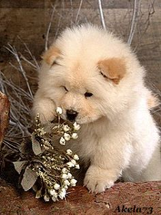 lovely #Samoyed puppy
