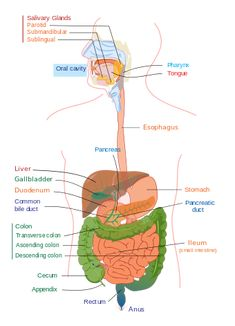 Gastrointestinal and Urinary Systems: Medical Terminology for Cancer Digestive System Organs, Digestive System Anatomy, Digestive System Function, Parotid Gland, Glands, Intestines Anatomy, Sigmoid Colon, Salivary Gland, Bile Duct