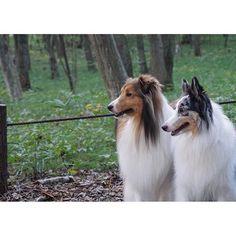 ろまんちっく村・みのりの森をお散歩♬ * * #shetlandsheepdog  #sheltie  #sheltielove  #sheltiegram  #シェットランドシープドッグ #シェルティ #シェルティー  #シェルティルティイブ  #シェルティブルーマール  #愛犬  #lovedogs  #instadogs  #all_dog_japan  #ろまんちっく村 #なかよしさん #sonyα5100