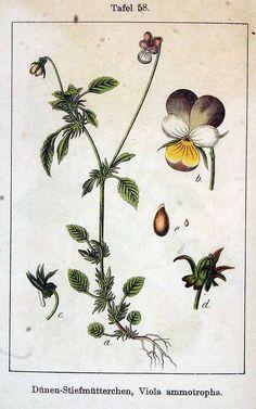 plantgenera.org/illustration.php?id_illustration=149958&height=950