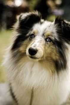 Shetland sheepdog!!