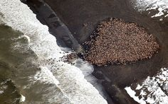 Biggest Walrus Gathering Recorded as Sea Ice Shrinks - AccuWeather.com