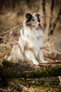 (I should've named my dog Merlin, since he's a blue merle sheltie type. Pet Dogs, Dogs And Puppies, Sheep Dogs, Dog Cat, Red Queen, Blue Merle Sheltie, Collie, Merlin, Rare Dogs